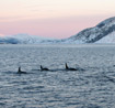 Dolphins in the Arctic