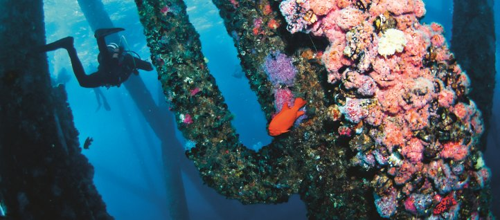 A diver inspects sponges, coral, anemones and invertebrates on an old oil platform off the California coast.